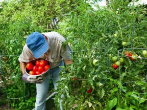 Guide To Growing Your Own Tomatoes