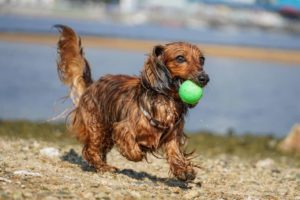 Are Lacrosse Balls Safe For Dogs