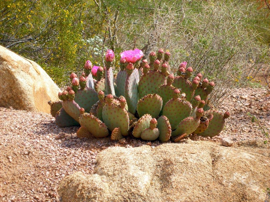 Beaver's Tail Cactus (Opuntia Basilaris)