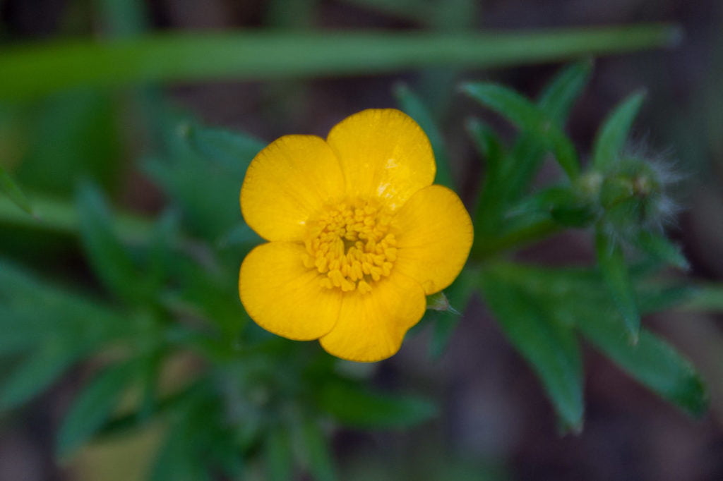 Buttercup (Ranunculus)