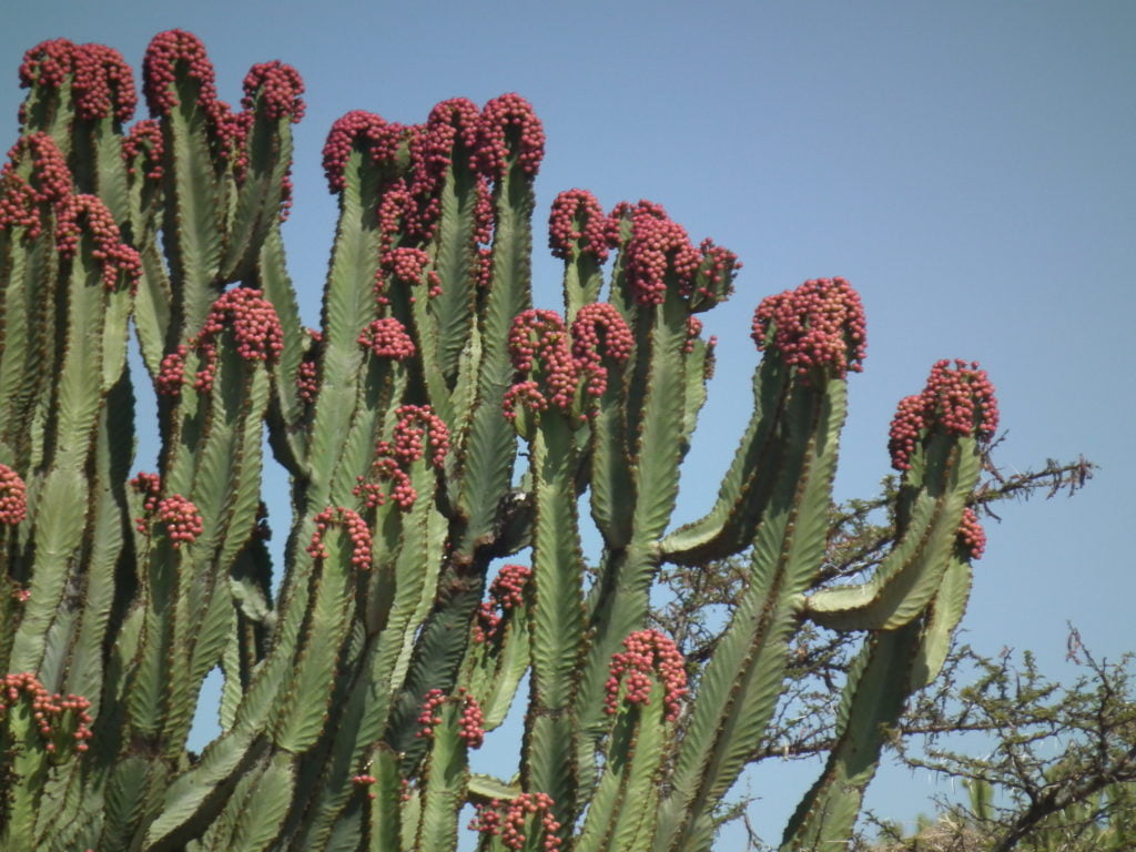 Candelabra Cactus (Euphorbia Candelabrum)