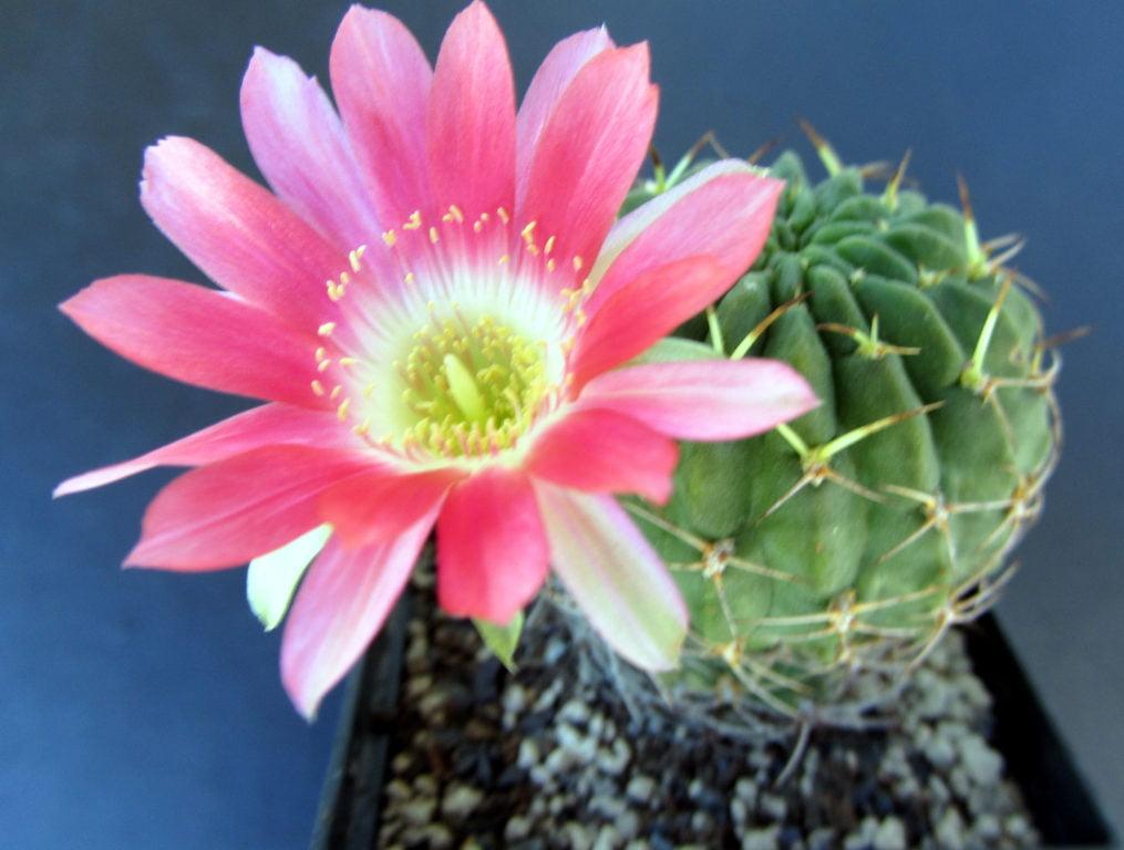 Carmine Cob Cactus (Echinopsis Backebergii)