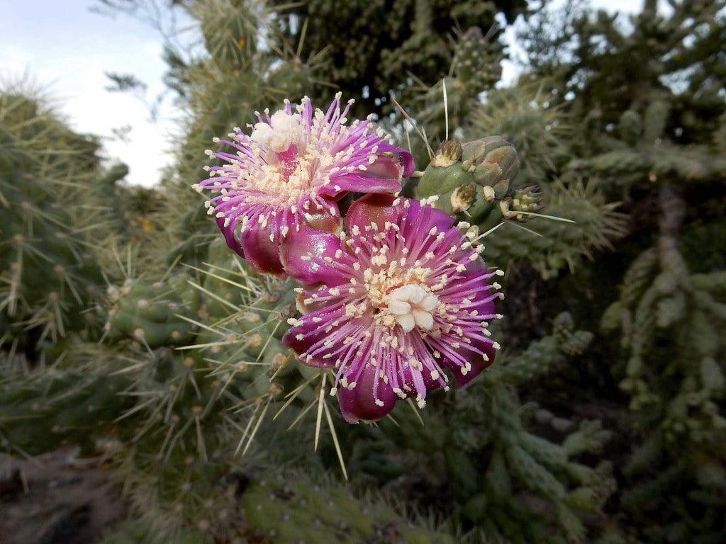 Cholla Cactus (Cylindropuntia Fulgida)