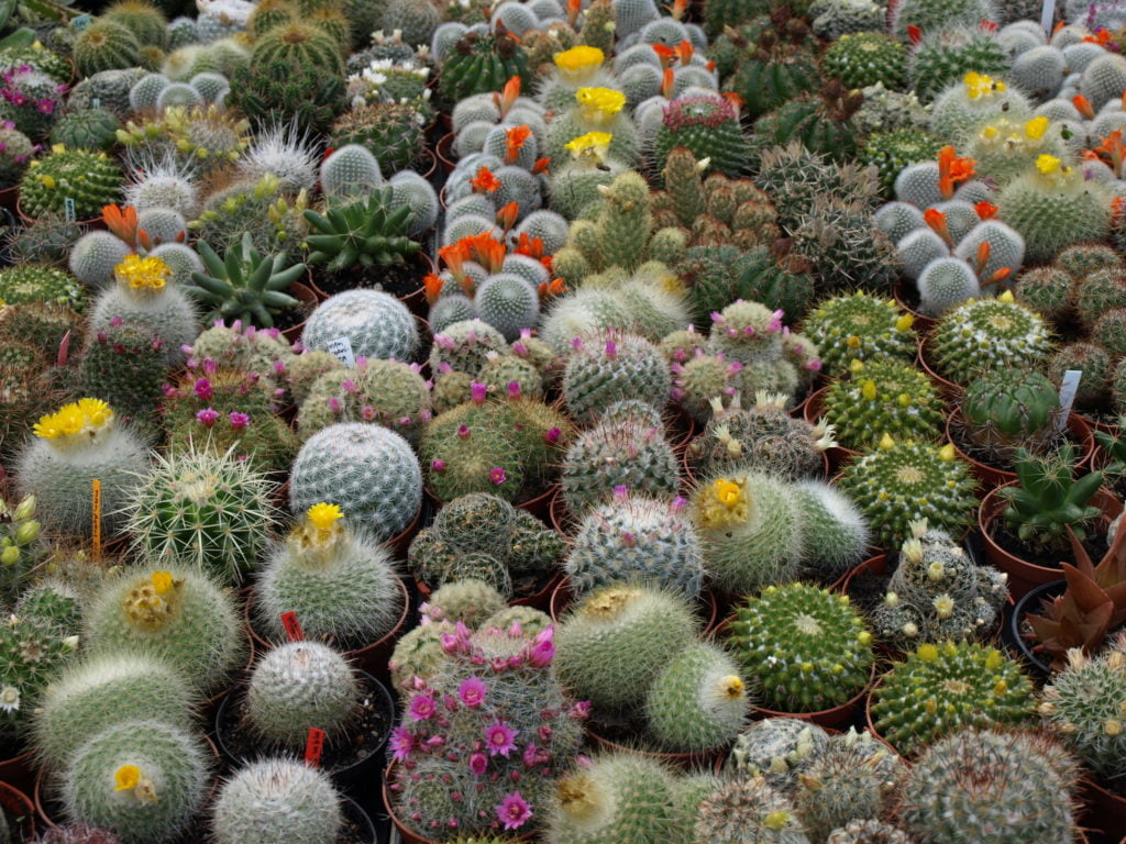 Choosing-the-Right-Succulent-from-the-Top-42-Types-of-Cactus