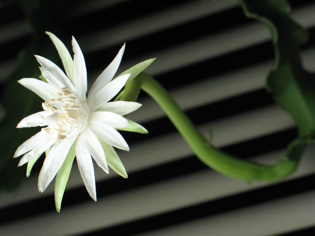 Climbing Cactus (Epiphyllum Phyllanthus)