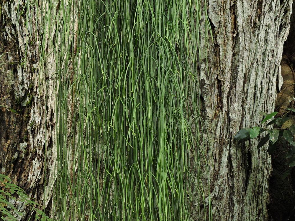 Clumpy Mistletoe Cactus (Rhipsalis Baccifera)