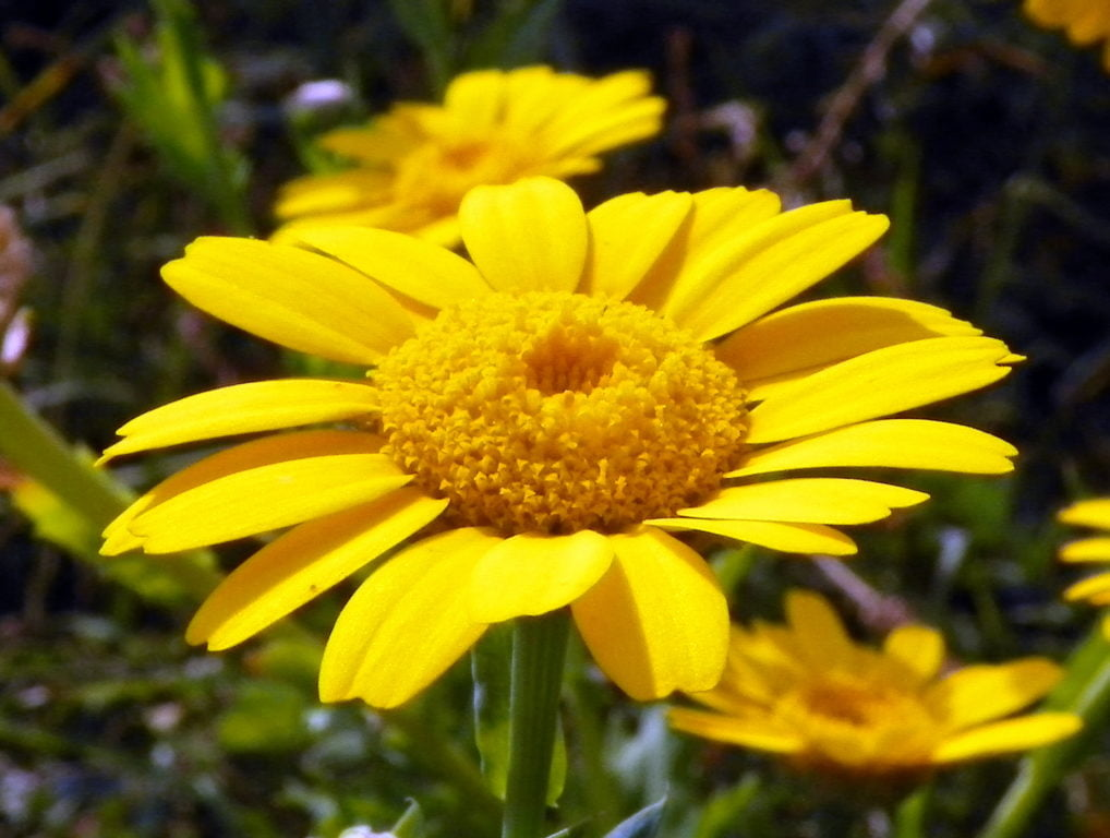 Corn Marigold (Glebionis Segetum)