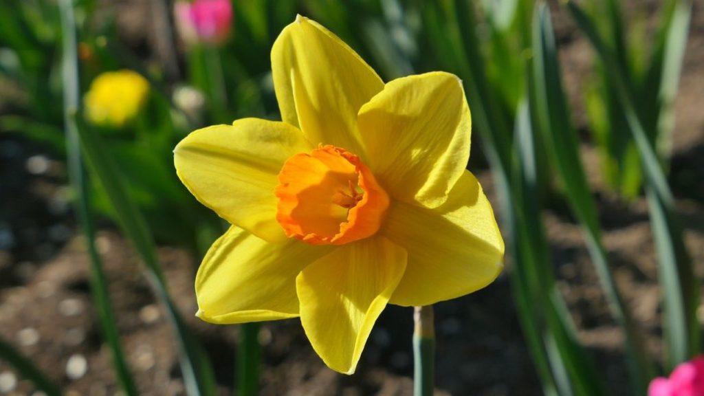 Daffodil (Narcissus)