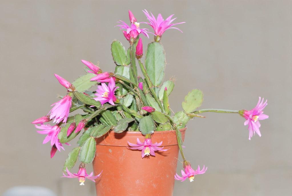 Easter Cactus (Schlumbergera Gaertneri)