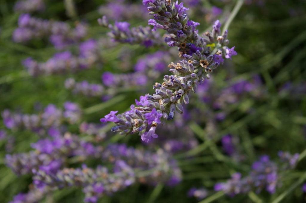 Lavender (Lavandula)