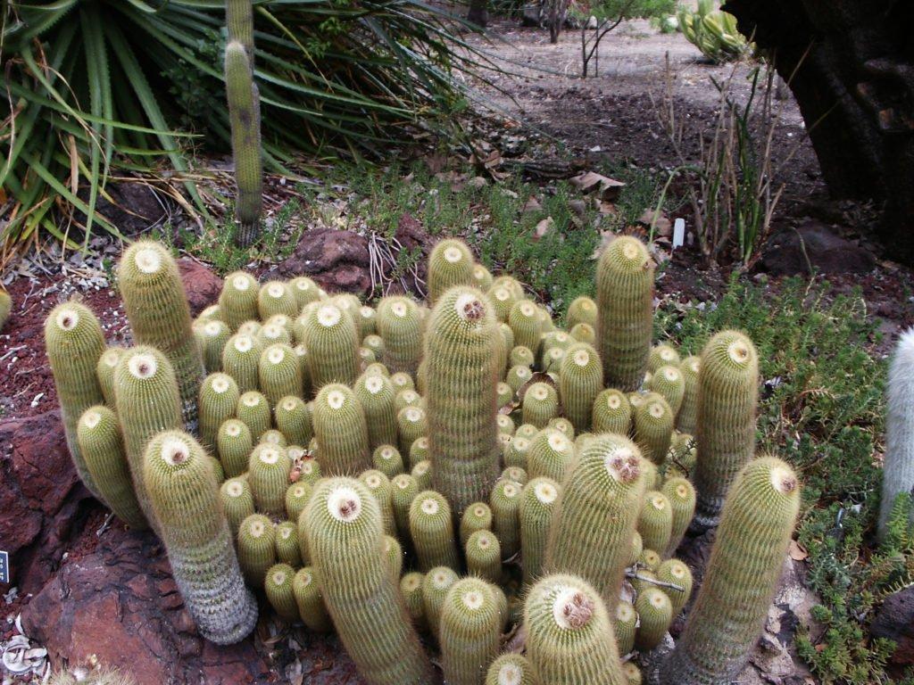 Lemon Ball Cactus (Parodia Leninghausii)
