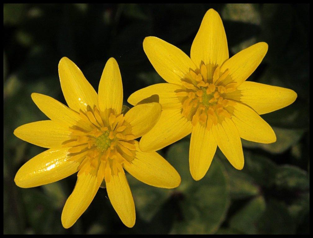 Lesser Celandine (Ficaria Verna)