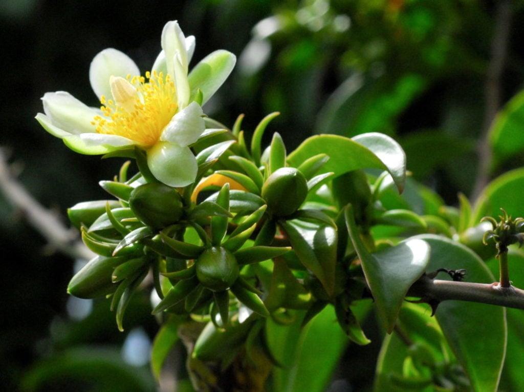 Link Leaf Cactus (Pereskia Aculeata)