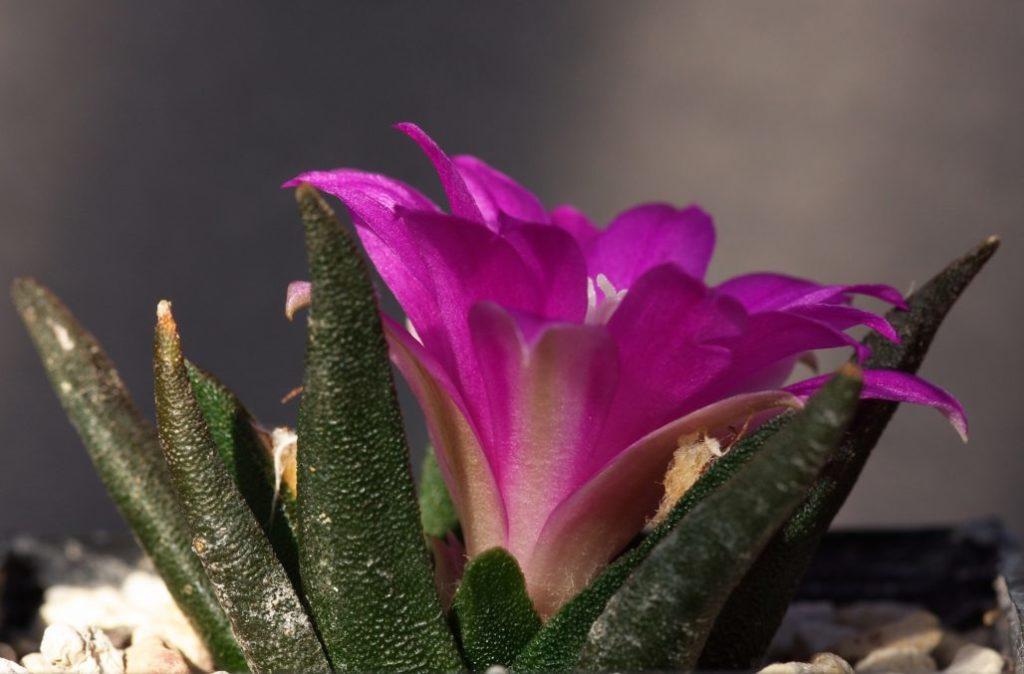 Living Rock Cactus (Ariocarpus Agavoides)