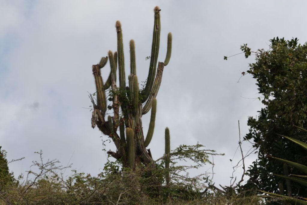 Pipe Organ Cactus (Pilosocereus Royenii)