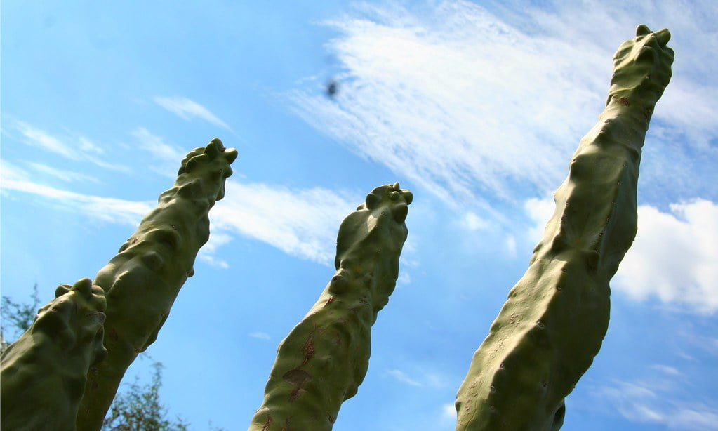 Totem Pole Cactus (Lophocereus Schottii)