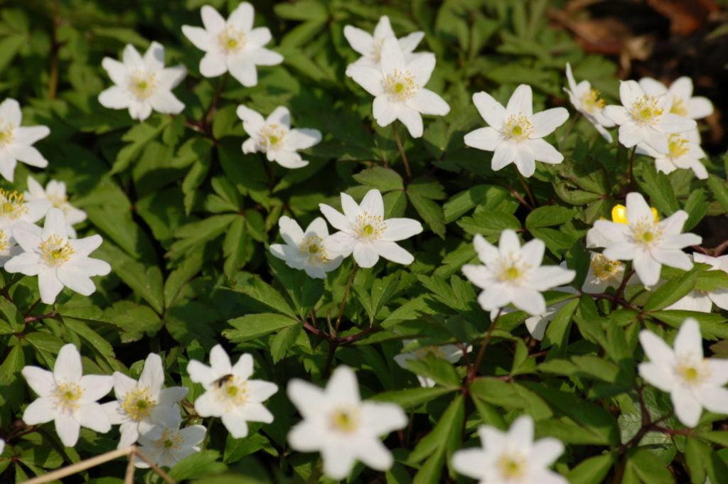 Wood Anemone (Anemonoides Nemorosa)