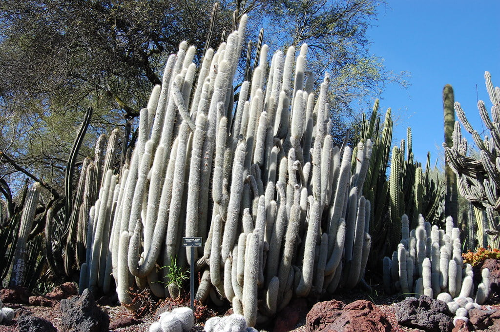 Wooly Torch Cactus (Cleistocactus Strausii)