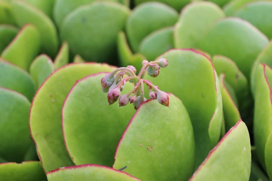 Are the Different Kinds of Jade Plant Poisonous or Toxic