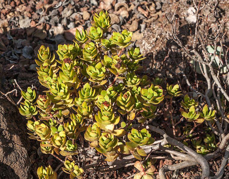 Blush Plakkie (Crassula Cultrata)