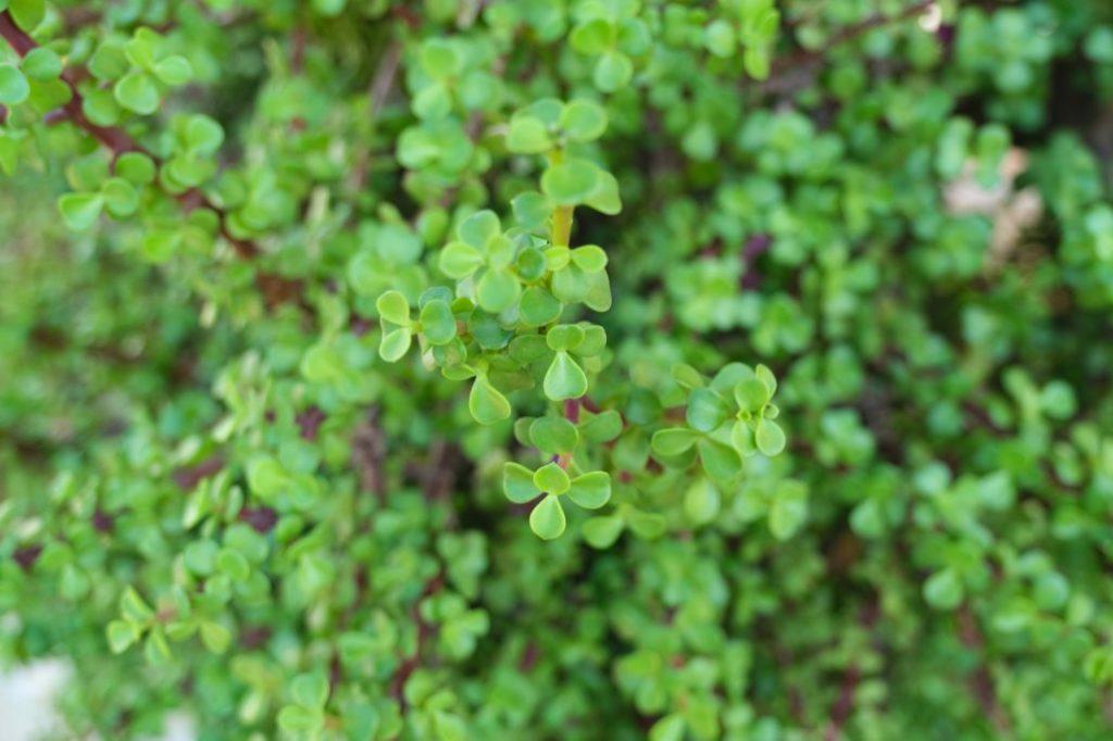 Green Penny Jade (Portulacaria Afra Large Leaf)