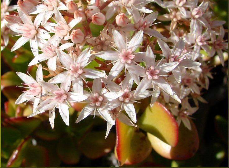 Pink Jade Plant (Crassula Ovata Pink)