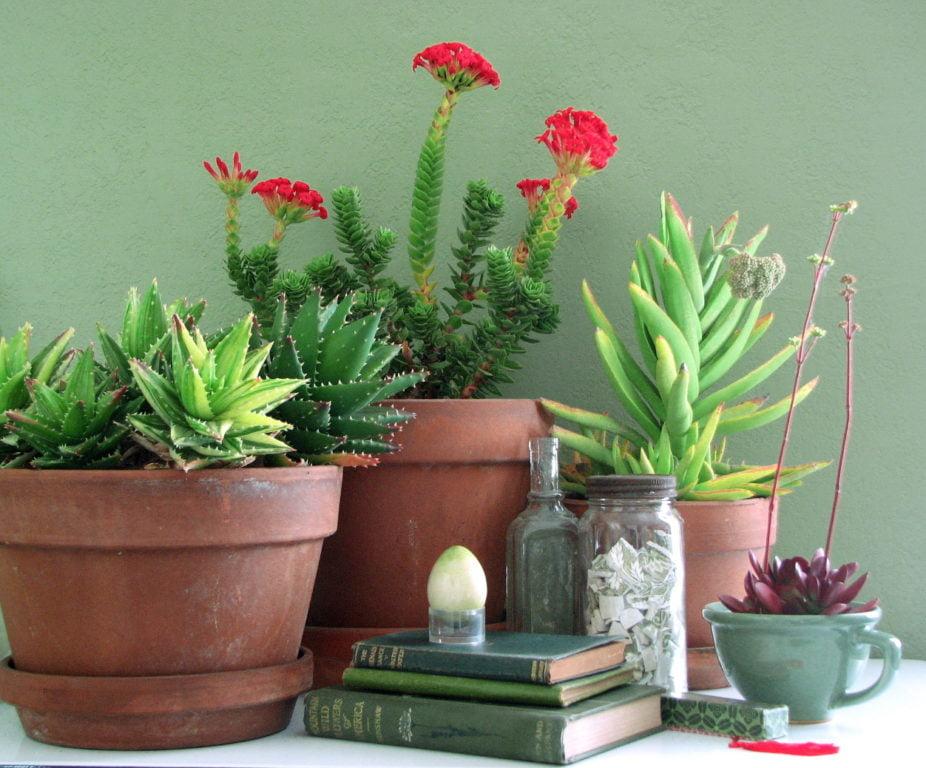 Red Jade Plant (Crassula Coccinea)