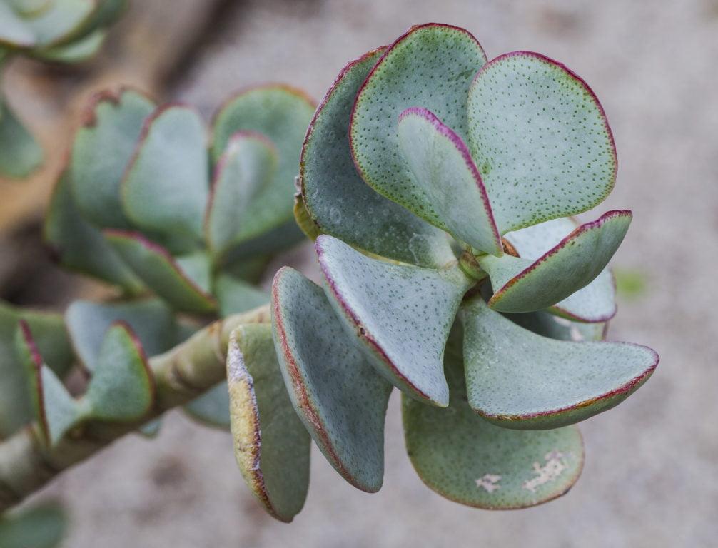 Ripple Jade (Crassula Arborescens Undulatifolia)
