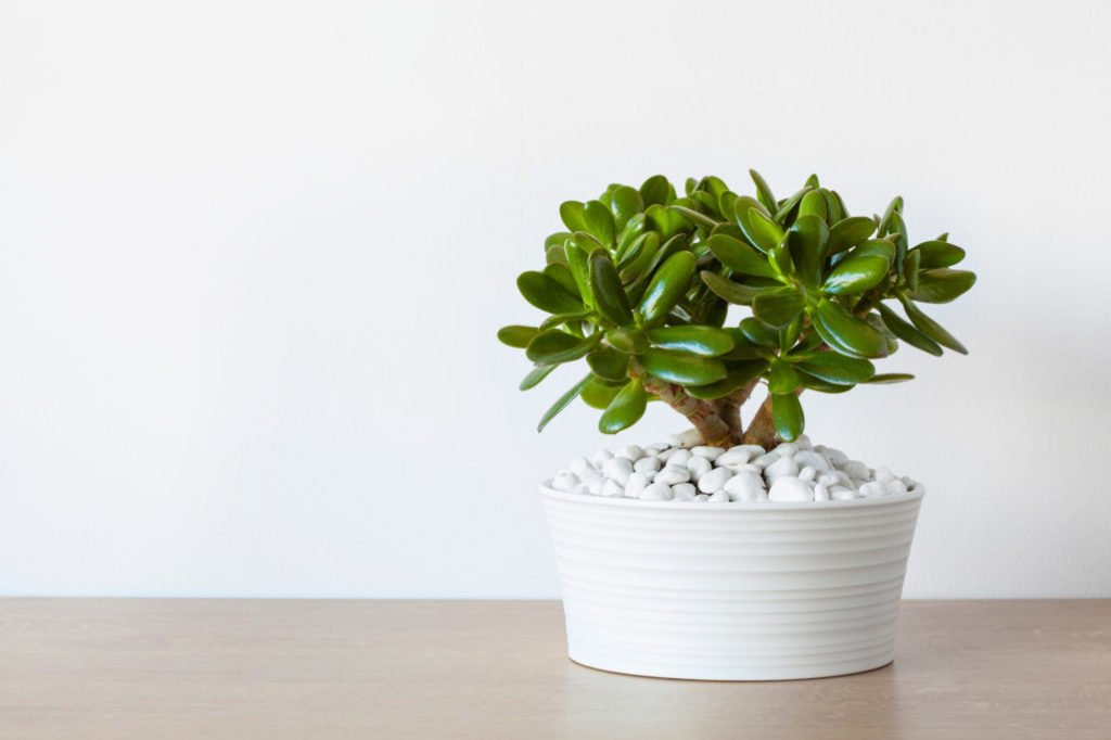 What are Jade Plant Benefits to be Had