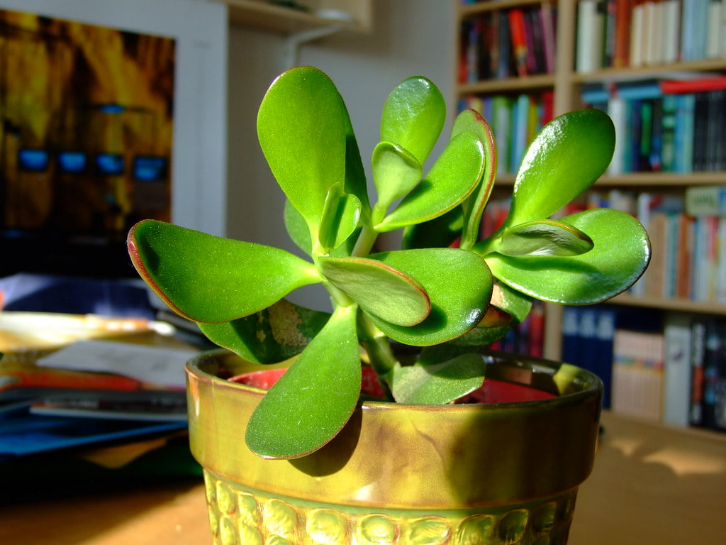 What is a Jade Plant