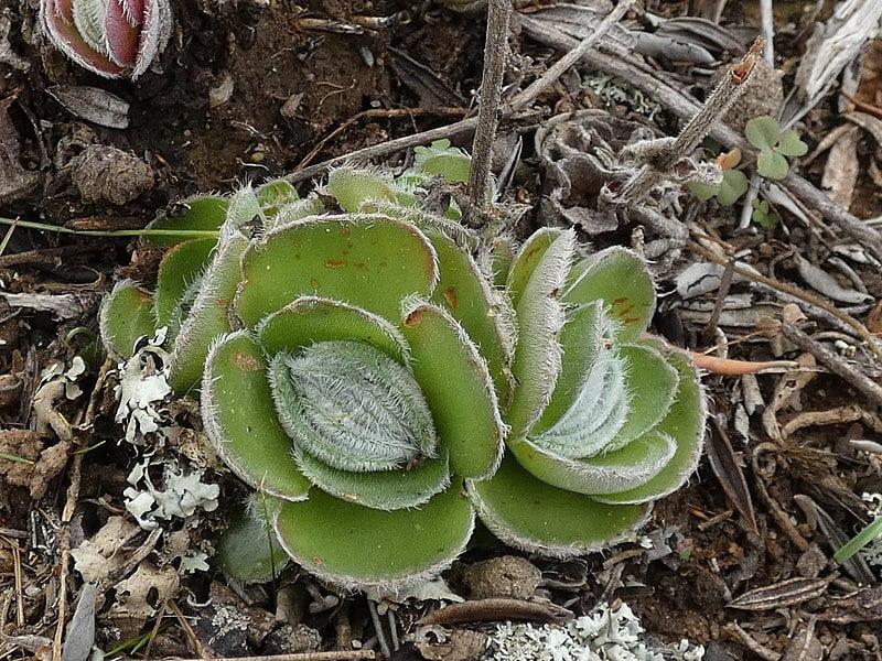 Woolly Crassula (Crassula Tomentosa)